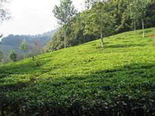 Free Tea Plantation - Indonesia Stock Photos - 8790293