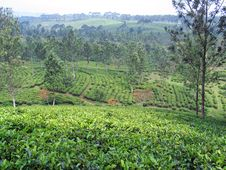 Free Tea Plantation - Indonesia Royalty Free Stock Image - 8790336