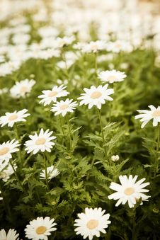 Free Field Of Daisies Royalty Free Stock Image - 8792076