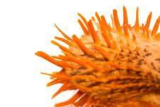 Free Spiky Shell Stock Photos - 8792283
