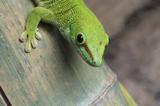 Free Gecko Close Up Stock Photos - 8792383