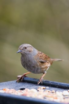 Uk Bird The Dunnock Royalty Free Stock Photo