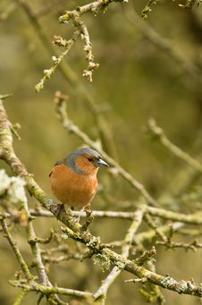 Free Chaffinch On Branch Royalty Free Stock Photo - 8792565
