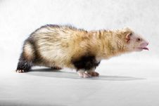 Free Ferret With Protruding Tongue Stock Photography - 8793002