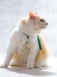 Free White Cat Stock Image - 8793031
