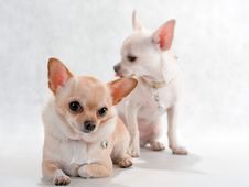 Free Two  Chihuahua Breed Stock Images - 8793044