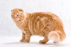 Free Cat Breed Highland Fold Royalty Free Stock Photos - 8793048