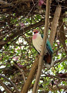 Free A Bleeding Heart Dove Stock Photography - 8793342