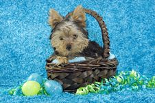 Free Yorkie Puppy In Basket With Easter Eggs Royalty Free Stock Image - 8793996