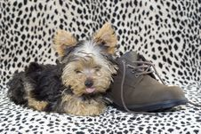 Free Yorkie Puppy With Brown Shoe Stock Photography - 8794032
