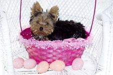 Free Yorkie Puppy In Pink Easter Basket Royalty Free Stock Photo - 8794105