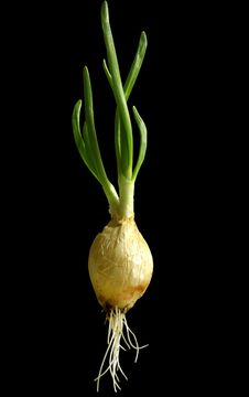 Free Green Onions Is Germinate Royalty Free Stock Images - 8796709
