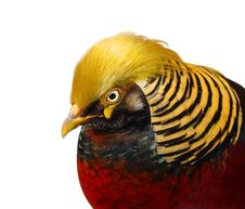 Free Golden Pheasant Closeup Isolated Stock Photography - 8796992