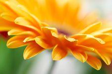 Free Yellow Daisy-gerbera Royalty Free Stock Images - 8799379
