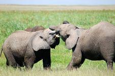 Free Elephants Fighting Royalty Free Stock Image - 8799916