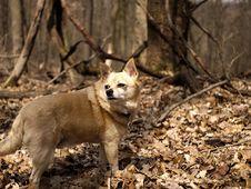 Free Dog, Carnivore, Dog Breed, Fawn Stock Image - 87955911