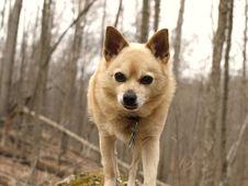 Free Dog, Carnivore, Spitz, Tree Stock Photography - 87955982