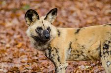 Free African Wild Dog Stock Image - 87956421