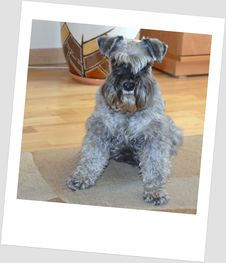 Free American Schnauzer Rossa My Dog Royalty Free Stock Images - 87956539