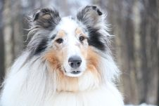 Free Collie Stock Photography - 87956622