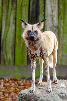 Free African Wild Dog Royalty Free Stock Photo - 87956725