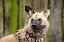 Free African Wild Dog Stock Images - 87956744