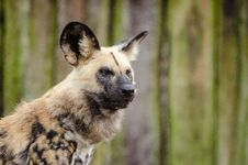 Free African Wild Dog Royalty Free Stock Photo - 87956795