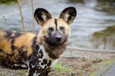 Free African Wild Dog Royalty Free Stock Images - 87956919