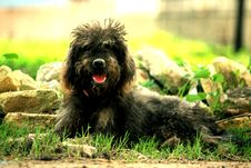 Free Little Dog Royalty Free Stock Photography - 87957767