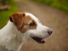 Free Profile Portrait Of Terrier Dog Royalty Free Stock Image - 87958796
