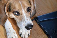 Free Beagle Bailey Royalty Free Stock Photos - 87959038