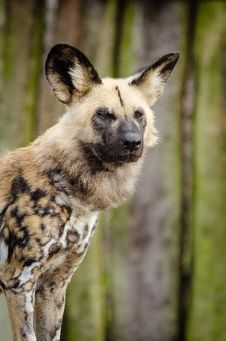 Free African Wild Dog Royalty Free Stock Images - 87959139