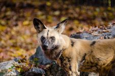 Free African Wild Dog Stock Photography - 87959832