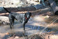 Free Nothing A Labrador Likes Better Than Finding Water Royalty Free Stock Photography - 87960277