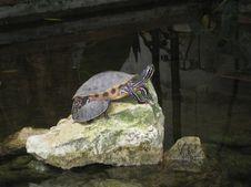 Free Turtles On Rock Royalty Free Stock Image - 87965416