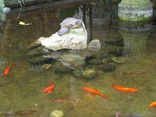 Free Turtles And Koi Stock Image - 87965871