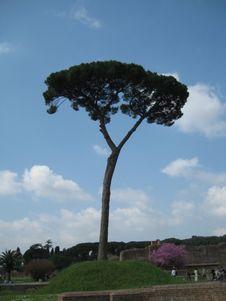 Free Tall Thin Tree Royalty Free Stock Image - 87966126