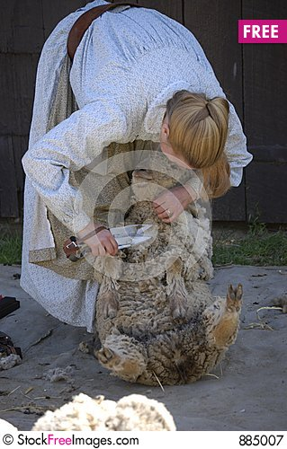 Free Shearing Sheep VIII Royalty Free Stock Photography - 885007