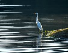 Free Great White Heron Royalty Free Stock Photo - 880055