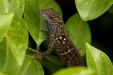 Free Gecko Lizard In Tree Royalty Free Stock Photography - 880057