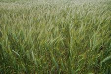 Free Grain Field Close-up Royalty Free Stock Photos - 880318