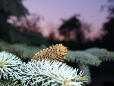 Free Fir Cone Royalty Free Stock Image - 881266