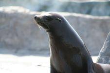 Free Seal Royalty Free Stock Photo - 881525