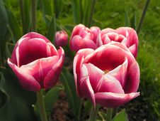 Free Pink Tulips Royalty Free Stock Photography - 882617