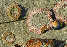 Free Sea Anemones Royalty Free Stock Image - 882676