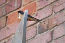 Free Swallow (hirundo Rustica) Stock Photography - 883702