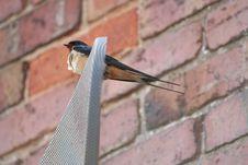 Free Swallow (hirundo Rustica) Stock Photography - 883702