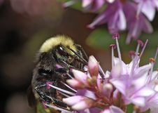 Free Bumblebee On Lilac 1 Stock Photos - 884833