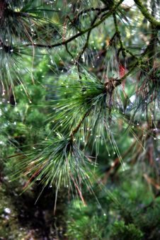 Free Green Pine Needles Dripping With Dew Stock Photography - 885402