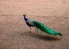 Fancy Fan (Peacock) Royalty Free Stock Images